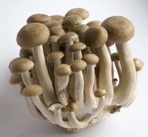 ciuperci-shimeji